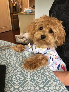 Dogs for adoption Goldendoodles, Maltipoo, Maltese Poodle Mix, Puppy Palace, Doggy Stuff, Baby Fever, Cute Puppies, Doggies, Adoption