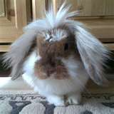 Image detail for -Charlie, a lop-eared rabbit, looking adorable
