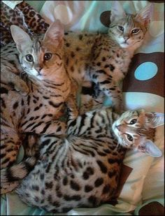 A new domestic cat breed as of 2001, Savannahs are a hybrid of the domestic cat & the wild African Serval. Large & slim, they're more social than most domestics and are often compared to dogs because of their extreme loyalty.