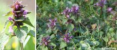 """Rød tvetand – en almindelig, dansk 'haveukrudt'. Det danske navn """"tvetand"""" kommer af, at blomstens underlæbe har to sideflige, der ender i en spids """"tand"""". Det er dog ikke særlig tydeligt hos arten Rød Tvetand. Det latinske artsnavn Lamium purpureum betyder frit oversat purpurrød svælg og kommer af blomstens udseende, hvor blomstens kronrør med lidt god vilje kan minde om et svælg, man kan kigge ned i. Ved første øjekast virker den lille blomst, der ofte kun måler 5-10 cm, ikke som noget…"""