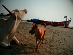 Dogs and cows on a beach of Goa