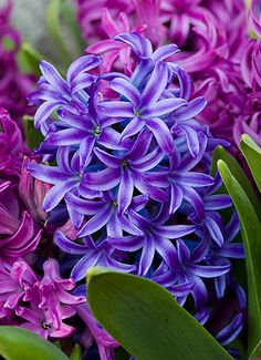 such amazing hyacinths! i love their smell, color and shape