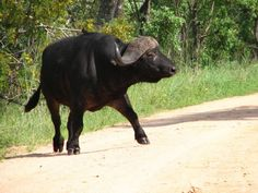 Also one of the great big stomping foot, hoof and horn brigade - the Big Five - the African buffalo is like a massive cow on steroids.