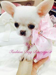 ❤❤Goodmorning Sweetie❤️❤️ #fashiondogboutique #fashion #rivoli #cutie #cuccioli #chihuahua #clubchihuahua #chihuahuafashion #life #love #instadog #instalife #instalove #morning #moda #goodmorning #dogs #pets #puppy #style #sweetie #shopping #kiss #spring