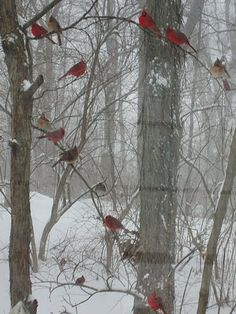 13 pairs of Northern Cardinals were in that old honeysuckle! You can't see them all - but believe me they were right there!!!