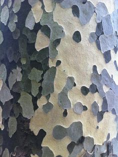 Bark of Platane Paris Patterns In Nature, Textures Patterns, Color Patterns, Print Patterns, Tree Patterns, Natural Forms, Natural Texture, Art Concret, Tree Bark