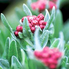 Helichrysum Plant - Ruby Cluster Flowers March to May. Bernville Garden Centre 2015