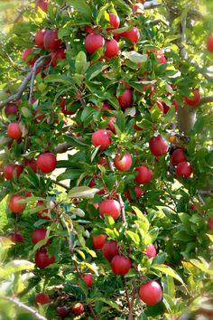 There are many apple growing regions in the US and during apple picking season (september & october) it is worth trying to discover regional heirloom apples Fruit Plants, Fruit Garden, Garden Plants, Apple Picking Season, May Garden, Growing Fruit Trees, Valley Of Flowers, Exotic Plants, Exotic Fruit