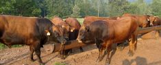 Domestic Beef Cattle: Breeds (Part 5) | Temperate Climate Permaculture