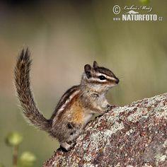 Čipmank malý (Tamias minimus)