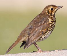 Irish Bird Images - song thrush