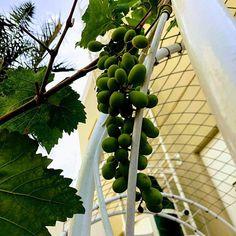 #MyDubai #dubaiart #dubai #fadiradi #summer_time #gardenlove #gardenmagic #gardendesign #diygarden #diygardendesign #Mudon_Villas #Mudon #dp #dubaistyle #garpes #dubaigrapes