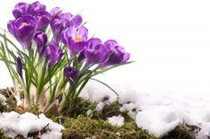 Обои Крокусы Весна Фиолетовый Снег Цветы