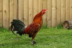 """Breed Savers: Standard Old English Game Fowl """"Oxford Style Ginger"""""""