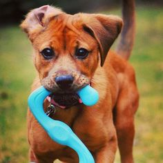 """Courtney says, """"This is Olive, she is a 1 yr old boxer mix that we rescued from Richmond Animal League, and this is the only toy that has lasted more that a few minutes with this chewer. It is one of her favorites to carry around."""" #boxer #dogs #love // BestBullySticks.com"""