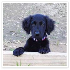 Flat-Coat Retriever puppy.....Kellie was rescued at 1 yr but had to have looked just like this!