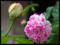 ヴァリエガータ・デ・ボローニャ #rose