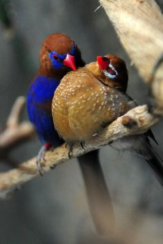 Romantic Grenadier Finch couple.  Tender moments together.