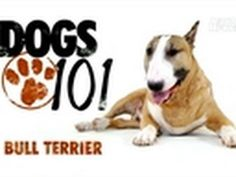 Bull Terrier on Dogs 101 Mini Bull Terriers, English Bull Terriers, Animals And Pets, Cute Animals, Dog Suit, Miniature Schnauzer Puppies, Dogs 101, Mini Dogs, Dog Friends