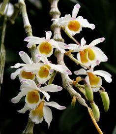 Paixão por orquídeas - Meu orquidário: Como cultivar Dendrobium thyrsiflorum, aggregatum, lindley, nobile, pendulum, chysotoxum...?