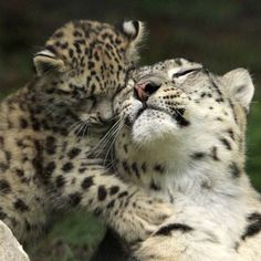 Snow Leopard & cub...2017 Big Cats, Cats And Kittens, Cute Cats, Baby Snow Leopard, Leopard Cub, Cute Baby Animals, Animals And Pets, Beautiful Cats, Animals Beautiful