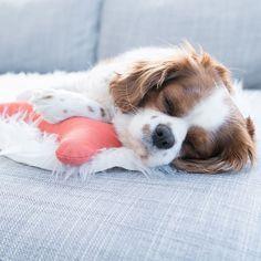 Do not wake a sleeping dog. #pattifurry #sleepy #cavalier