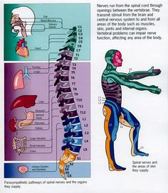 magicmedic: Spinal Nerves and their connection to organs (Psoas Release New Years) Spinal Nerve, Spinal Cord, Spine Health, Chiropractic Care, Anatomy And Physiology, Massage Therapy, Physical Therapy, Nervous System, Back Pain