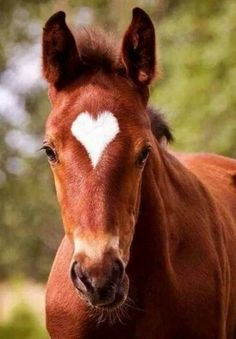 Chestnut with heart-shaped star