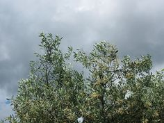 Un Olivier avant l'orage