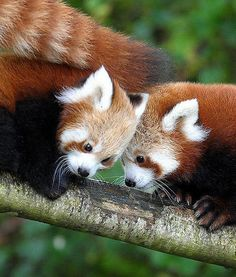 This Red Panda cub twosome made their debut at the Cotswold Wildlife Park in… Cotswold Wildlife Park, Milan Kundera, Baby Animals, Cute Animals, Panda Love, My Spirit Animal, Fauna, Pet Birds, Animals Beautiful