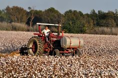 Cotton field of Mississippi