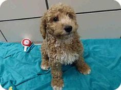 Fort Wayne, IN - Poodle (Miniature)/Labrador Retriever Mix. Meet NUGGET, a puppy for adoption. http://www.adoptapet.com/pet/18525011-fort-wayne-indiana-poodle-miniature-mix