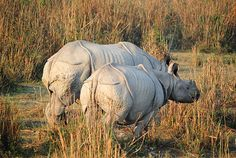 Kaziranga National Park - Wikipedia, the free encyclopedia Want to see one one day