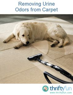 This is a guide about removing urine odors from carpet. Urine odors in carpets can be difficult to remove. With the proper method you can get your carpets looking and smelling just like new.