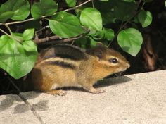 Chipmunk on the grounds of Brookfield Zoo