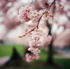 cherry tree lane: five of five by Danielle Hughson Source: Flickr