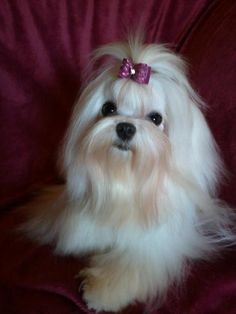 In love with this Maltese puppy from AKC Maltese Puppy Breeders