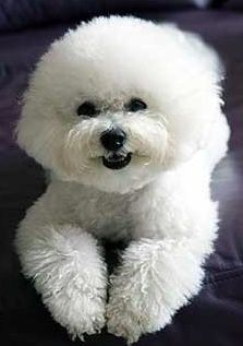 Discover Bichon Frise puppies from Legend Bichons in California. Find the right dog for you on Good Dog. Cortes Poodle, Frise Art, Bichon Dog, Teacup Chihuahua, Animals And Pets, Cute Animals, Cute Dogs And Puppies, Doggies, Bull Terrier Dog