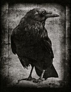blackbird singing in the dead of night Crow Art, Raven Art, Bird Art, Blackbird Singing, Quoth The Raven, Counting Crows, Jackdaw, Crows Ravens, Foto Art
