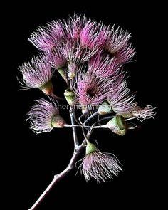 Pink Blossom Print ~ Australian Native Floral Photograph ~ Still Life Moody Artwork ~ Botanic Wall Art ~ Ready To Hang Canvas ~ Spring Decor Floral Photography, Still Life Photography, Fine Art Photography, Art Prints Online, Buy Art Online, Australian Flowers, Australian Wildflowers, Affordable Wall Art, Floral Artwork