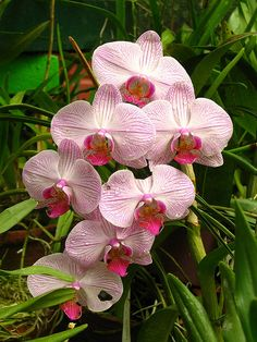 Sri Lanka - Kandy Botanical Garden - Orchids - 05 | Flickr –