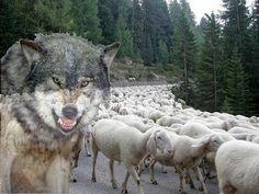 Chaos: Chi pecora si fa, il lupo se la mangia