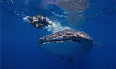 What It's Like to Swim with Massive Sharks