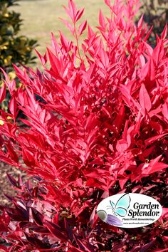 Nandina 'Tuscan Flame' (Heavenly Bamboo) has gorgeous bamboo-like green foliage in spring and summer, highlighted by red new growth, then in autumn the whole plant ignites into a stunning, flaming red display of long lasting foliage.  Hardy to Zone 6 and growing only to about 3'-4', it is a must have plant for a sunny or partially shaded location.