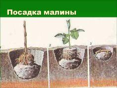 Агротехника выращивания малины - YouTube