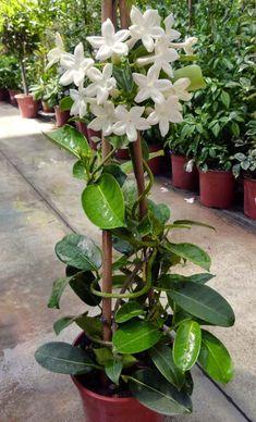 Stephanotis - Apocynaceae - Coltivazione e cura della Stephanotis Eco Garden, Garden Deco, Garden Care, Tropical Garden, Garden Pots, Potted Garden, Orchid Plants, Exotic Plants, Exotic Flowers