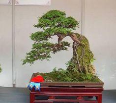 Bộ sưu tầm những cây bonsai bám đá đẹp