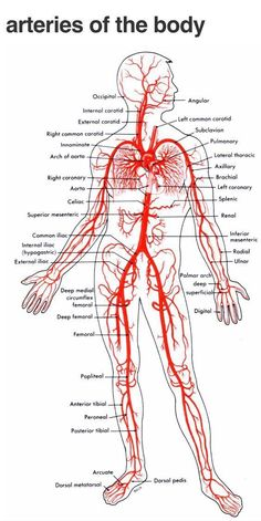 Arteries And Veins Diagram 205 Circulatory Pathways Anatomy And Physiology. Arteries And Veins Diagram 205 Circulatory Pathways Anatomy And Physiology. Human Body Anatomy, Human Anatomy And Physiology, Anatomy Of The Body, Muscle Anatomy, Arteries And Veins, Nursing School Notes, Nursing Schools, Medical School, Medical Anatomy