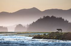 A black wolf on the mudflats off Meares Island in Clayoquot Sound UNESCO Biosphere Reserve on the remote west coast of Vancouver Island. The photo was taken shortly before sunset from a sea kayak by © Sander Jain   National Geographic Photo Contest 2012, In Focus Part II   The Atlantic