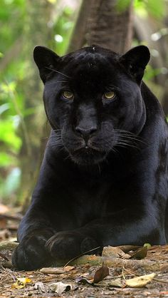 Black Panthers ~ in Asia + Africa are considered a leopard. In the Americas they…